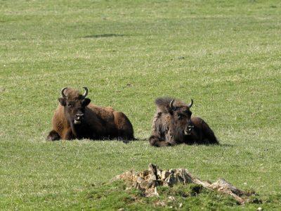 Der Europäische Bison oder Wisent